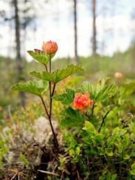 Bio Moltebeeren Pflanze