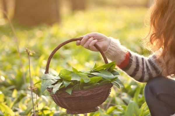 Frische Kräuter sammeln um die Speisen des Mittsommerfestes zu würzen