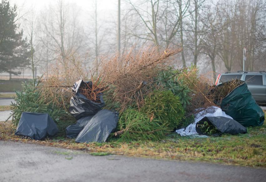 Entsorgte Weihnachtsbäume - Beim Knutfest werden sie verbrannt