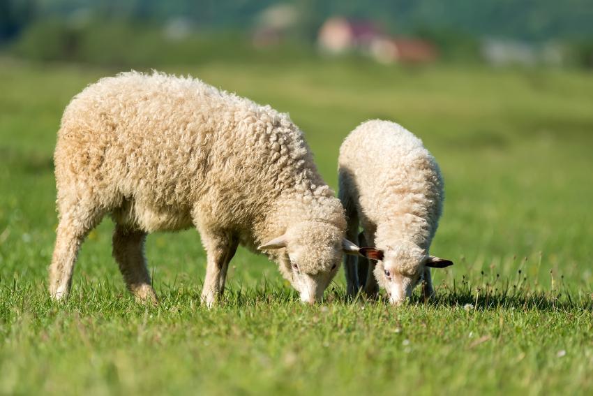 2 Schafe - für Hausschuhe mit Schaffell